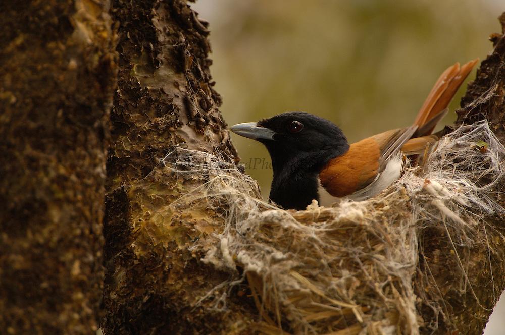 Rufous vanga (Schetba rufa) male on nest, Ankarafantsika Special Reserve. Dry forest of nw MADAGASCAR, endemic