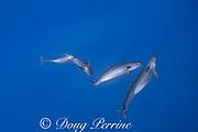 pseudorca, or false killer whales, Pseudorca crassidens, off the North Kona Coast of Hawaii Island, Hawaiian Islands, U.S.A. ( Central Pacific Ocean )