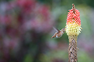 A hummingbird hovers and sips nectar from a Red Hot Poker (Kniphofia uvaria) Torch Lily in bloom