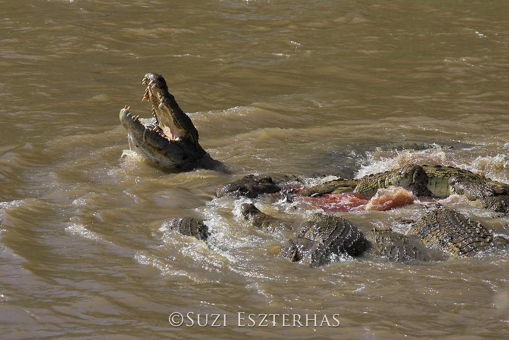 Nile Crocodile<br /> Crocodylus niloticus<br /> Hungry crocodiles feeding on zebra<br /> Maasai Mara Reserve, Kenya