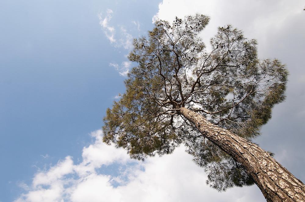 European Black Pine (Pinus Nigra), Troodos mountains, Cyprus
