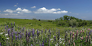 This small patch of Lupines blooms just off the trail at Fort Hill, Eastham, every spring