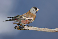 Gray-crowned Rosy-Finch (Hepburn's race) - Leucosticte tephrocotis littoralis - male