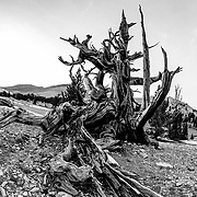 Bristlecone Pines at Sunset near Bishop, California.