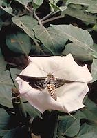 Sphinx moth, Manduca sexta, approaches a Sacred Datura flower, Datura wrightii, at night in Joshua Tree National Park, California