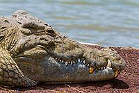Nile crocodile, Lake Chamo, Nechisar National Park, Arba Minch, Ethiopia. Lake Chamo is one of the two largest Rift Valley lakes.