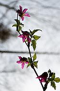 Salmon Berry blooms (Rubus spectabilis) in Ravenna Park, Seattle, Washington