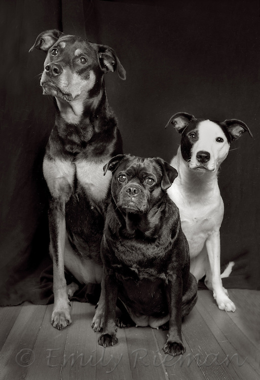 Portrait of dogs shot on black and white film.
