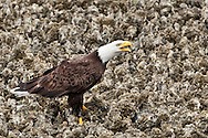 Bald Eagle (Haliaeetus leucocephalus) (Halietus leucocephalus) stands on a Pacific Oyster bed calling at the Hood Canal of Puget Sound, Washington state, USA
