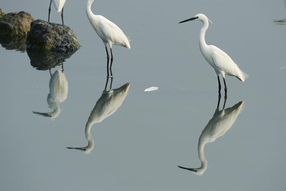Great white egret, Casmerodius albus, Little egret, Egretta garzetta, Pulicat Lake, Tamil Nadu, India