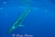 Bryde's whale, Balaenoptera brydei or Balaenoptera edeni, swims past a baitball of sardines, Sardinops sagax, off Baja California, Mexico ( Eastern Pacific Ocean ); underwater photographer, California sea lions and striped marlin in background