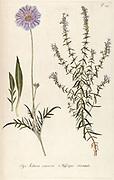 Hand painted botanical study of a Scabiosa caucasica (Caucasian pincushion) flower anatomy from Fragmenta Botanica by Nikolaus Joseph Freiherr von Jacquin or Baron Nikolaus von Jacquin (printed in Vienna in 1809)