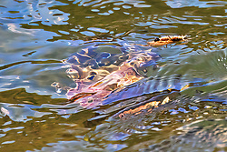 Surreal looking cutthroat trout heads down stream to intercept a stonefly meal
