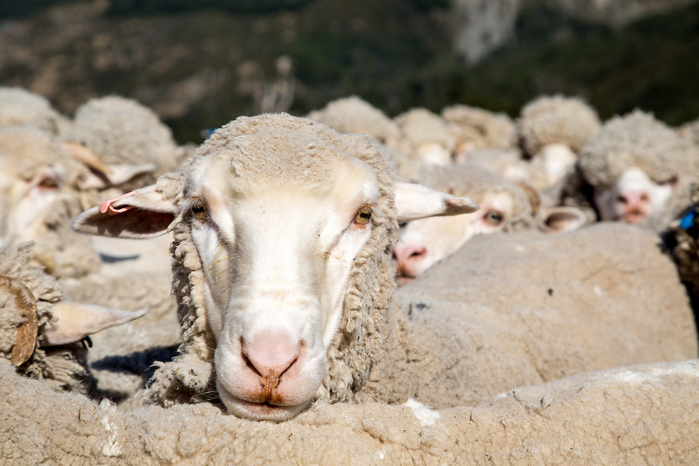 Merino Sheep Portrait, Arthur's Pass Wilderness Lodge, New Zealand.