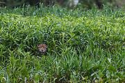 A jaguar, Panthera onca, hiding in the tall grass, Cuiaba River, Pantanal, Mato Grosso, Brazil.