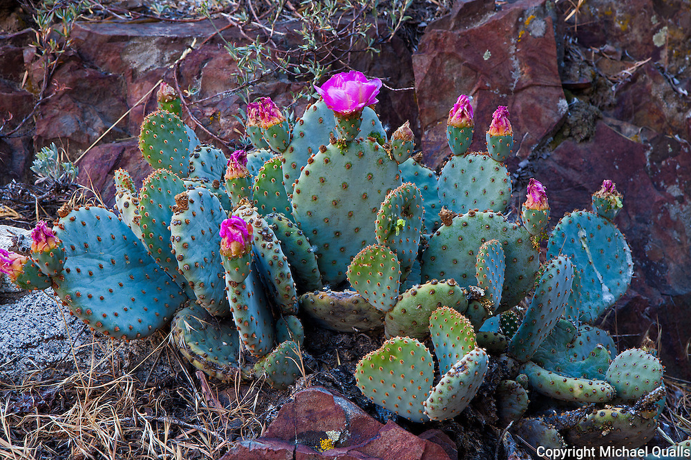 Blooming cactus along the trail up Pine Creek canyon.