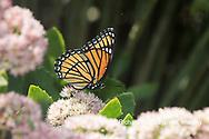 03421-00705 Viceroy (Limenitis archippus) on Autumn Joy Sedum (Sedum spectabile) Marion Co. IL