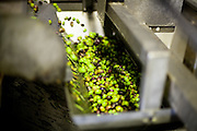 Olive oil factory in Palaiochora (Crete) for producing (pressing) oil out of the harvested olives. In this image the Olives getting cleaned and sorted. Palaiochora is a small town in Chania regional unit on the island of Crete, Greece. It is located 77 km south of Chania, on the southwest coast of Crete and occupies a small peninsula 400m wide and 700m long. The town is set along 11 km of coastline bordering the Libyan Sea. Its population was 1,675 in the 2011 census. Palaiochora's economy is based on tourism and agriculture (mainly tomatoes cultivated in glass houses and also olive oil).