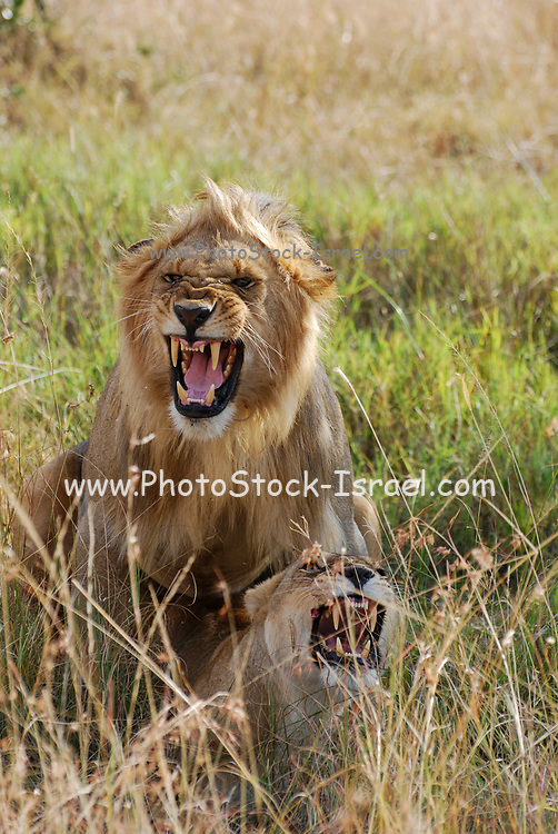 Lion and Lioness mating. Photographed in Tanzania