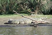 Africa, Ethiopia, Blue Nile river Nile Crocodile on the shore