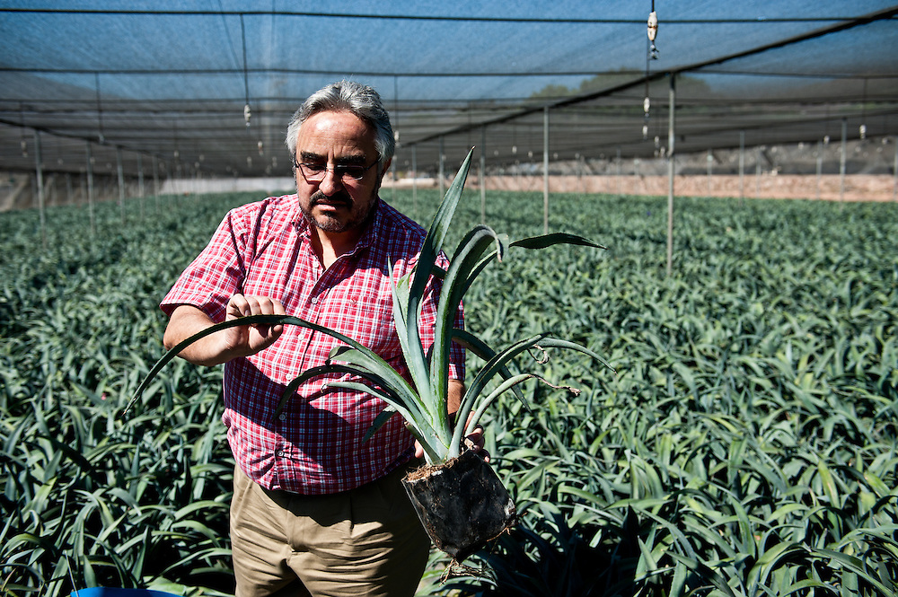 """Dr. José Ignacio del Real Laborde, Technical Director at Casa Sauza, inspects young blue agave plants, called """"hijuelos,"""" at the company's nursery. Sauza's nursery raises the hijuelos until they are old enough for transplantation. There are roughly 500,000 plants hijuelos in Sauza's nursery at any given time."""