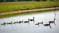 Canada Geese and Goslings. Sourland Mountain Preserve. Image taken with a Nikon D2xs camera and 80-400 mm VR lens.