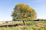 Small leafed lime tree, Tilia cordata, in autumn leaf, Richardson deserted medieval village, Berwick Bassett, Wiltshire, England, UK