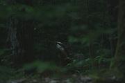 European badger (Meles meles), Photo by Davis Ulands | davisulands.com
