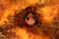 Tufted Blenny (Mccoskerichthys sandae)<br /><br />Canales de Afuera Islands<br />Coiba National Park<br />Panama