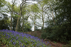Wendover, UK. 9th May, 2021. A view of a section of ancient woodland at Jones Hill Wood which will not be felled for the HS2 high-speed rail link. Felling of a large section of Jones Hill Wood, which contains resting places and/or breeding sites for pipistrelle, barbastelle, noctule, brown long-eared and natterer's bats and is said to have inspired Roald Dahl's Fantastic Mr Fox, resumed after a High Court judge lifted an injunction preventing further felling and refused an application for judicial review.