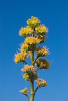 Flower stalk of the Agave deserti or Century Plant, Sonoran Desert, Anza-Borrego State Park California