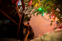 Zelda the cat is fascinated by ornaments on the Christmas tree, a California redwood stump sprout, on Christmas Day, Friday, Dec. 25, 2020, in Oakland, Calif. (Photo by D. Ross Cameron)