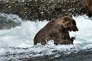 A large adult grizzly bear eats chum salmon in the upper McNeil River falls at the McNeil River State Game Sanctuary on the Kenai Peninsula, Alaska. The remote site is accessed only with a special permit and is the world's largest seasonal population of brown bears.