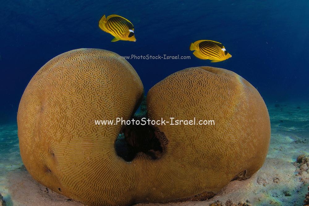 Two Diagonal Butterflyfish (Chaetodon fasciatus), also known as the Red Sea Raccoon Butterflyfish, swim over a Brain coral (Favia sp.) This species of butterflyfish (family Chaetodontidae) is endemic to the Red Sea