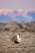 Sage Grouse male strutting on lek before sunrise in Wyoming