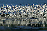 A large flock of shorebirds, mainly Western Sandpipers (Calidris mauri), fly in tight formation over the Bowerman Basin in the Grays Harbor National Wildlife Refuge in Washington state. More than 30,000 shorebirds stop in the refuge each spring to feed during their migration to breeding grounds in the far North.