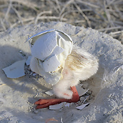 West Indian Flamingo (Phoenicopterus rubber) chick with an eggshell on its head. Bahamas
