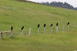 The turkey vulture, also known in some areas of North American as the turkey buzzard.