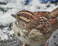 White-throated Sparrow (Zonotrichia albicollis). Image taken with a Nikon N1V3 camera and 70-300 mm VR lens.