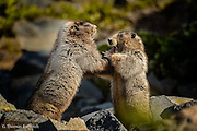 I discovered these two marmots in an intense wrestling match much like two puppies.  The wrestling match went on for 5 to 10 minutes before one tired and returned to his burrow.