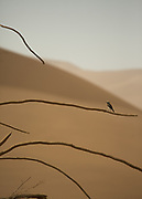 A passerine bird on a lone tree in the middle of the sand dunes.
