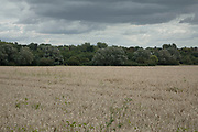 Grey sky, wheat crop fields and trees in the distance near to Hatfield Peverel, England, United Kingdom.