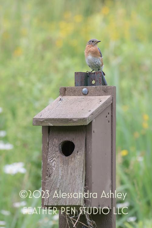 Eastern bluebird (Sialia sialis) perched atop nesting box at nature preserve, NE Ohio.
