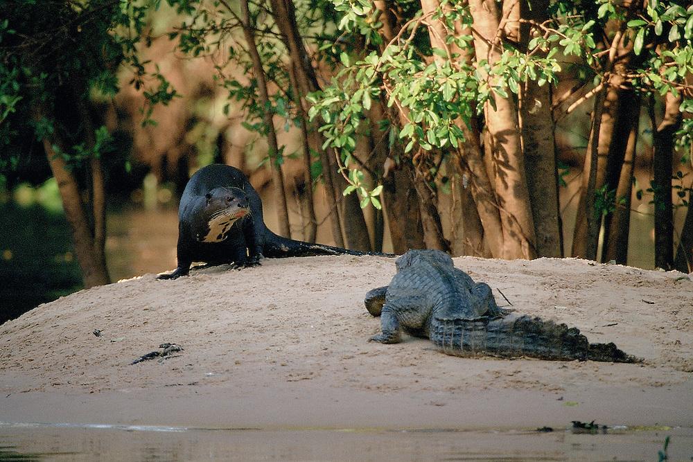 Pocone _ MT, Agosto de 2006..Trabalho sobre ariranhas no rio Pichaim, no norte do estado do Mato Grosso, no Pantanal. Materia para a revista National Geographic....FOTO: JOAO MARCOS ROSA / AGENCIA NITRO.