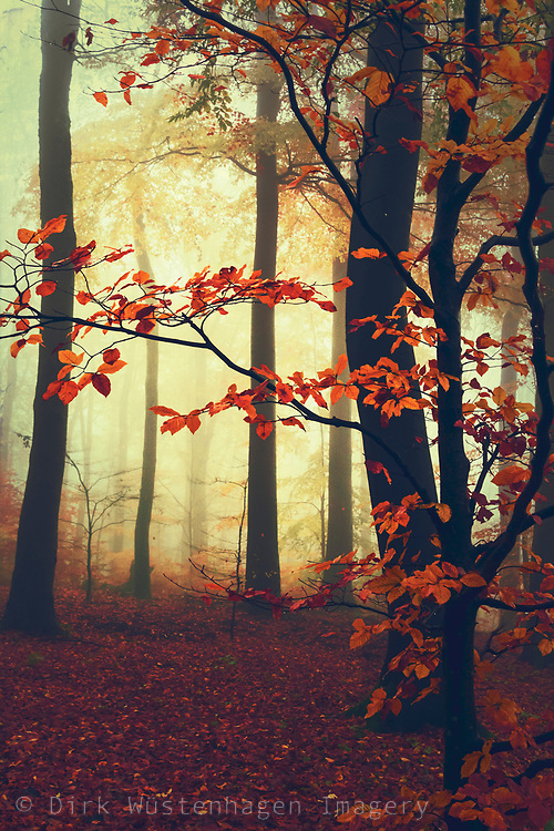Misty forest with autumn leaves<br /> license here--> https://www.trevillion.com/stock-photo/misty-forest-with-autumn-leaves/search/detailmodal-0_00289695.html?dvx=2553