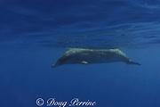 Blainville's beaked whale, or dense-beaked whale<br /> Mesoplodon densirostris<br /> Northwest Providence Channel<br /> near Great Abaco Island<br /> Bahamas ( Western Atlantic Ocean )