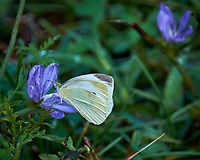 Cabbage White Butterfly on a Chicory Flower. Image taken with a Fuji X-T1 camera and 100-400 mm OIS lens.