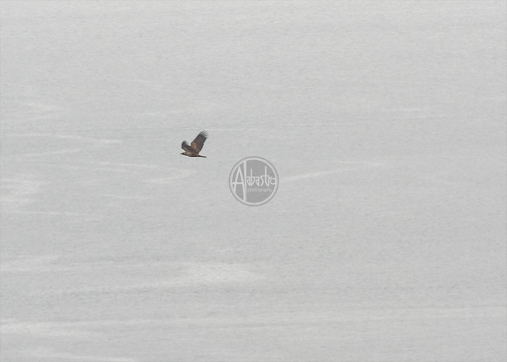 Sunset Hill Park  Jan 2013: Northern Harrier? Juvenile Eagle? Flying low and languid.