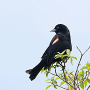 Red-winged blackbird showing prominent wing markings at Ottawa NWR, NW Ohio.