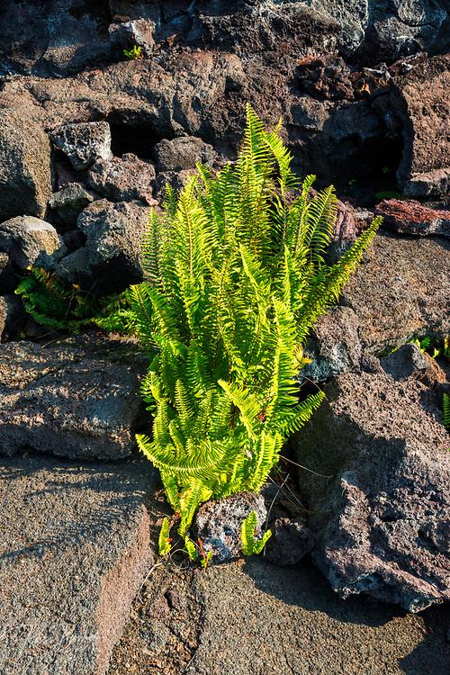 Fern emerging from lava in the Kilauea Iki caldera, Hawaii Volcanoes National Park, Hawaii USA